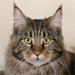 Кошки Мейн-кун. Особенности ухода