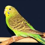 Привычки волнистых попугайчиков