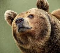 медведица ищет дом