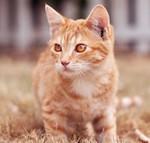 Кастрация кошки