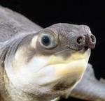 Черепаха со свиным пятачком