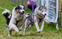 Забег с собаками в Томске