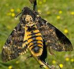 Бабочка мертвая голова