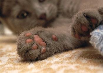 Уход за подушечками лап кошки