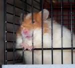 Хомячок в клетке