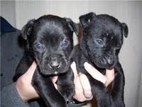 Черные щенки