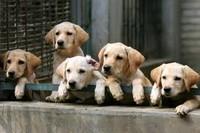 Только желанные щенки